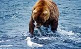 Bär in Kanada beim Lachs fischen
