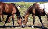 zwei Pferde in kanada, Nova Scotia, Cape Breton Island